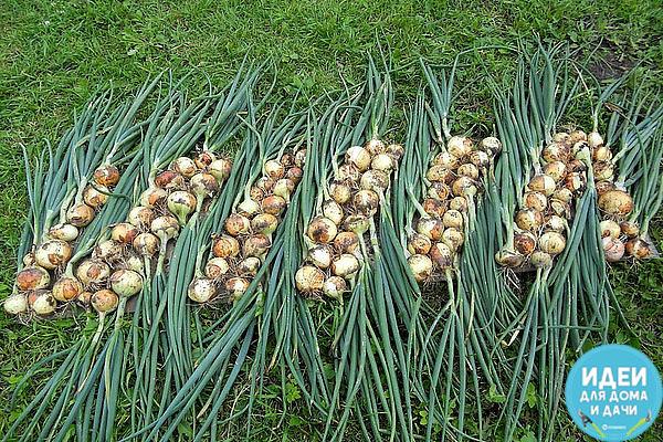 Советы для отличного урожая лука