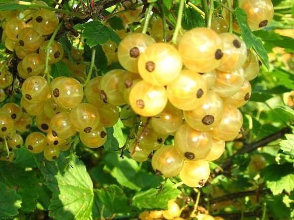 Простые способы повысить урожайность смородины