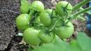 Кормите Томаты Правильно И Соберете Богатый Урожай.