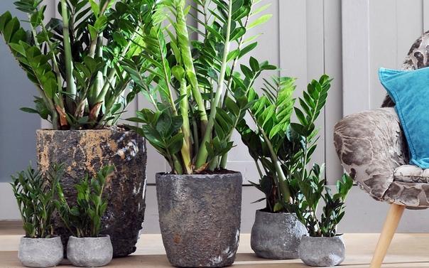 ЗАМИОКУЛЬКАС Замиокулькас в народе часто называют -,,долларовое дерево,,Это растение идеально подходит для наших квартир, где центральное отопление создает сухость воздуха близкую к пустыне.