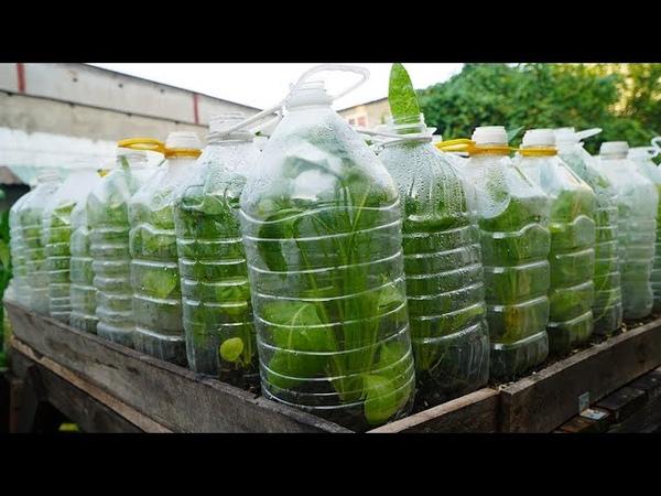 Thêm mẹo tái chế chai nhựa trồng cải bó xôi More tips for recycling plastic bottles growing spinach