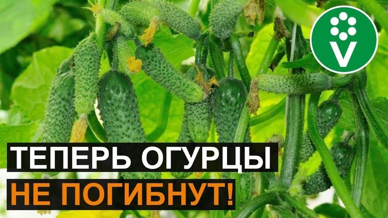 Революционный способ борьбы с ПЕРОНОСПОРОЗОМ огурцов лука чеснока