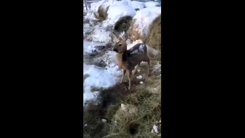 В Якутии -46С, дикие животные ищут помощи рядом с людьми. Дальний Восток, РФ, 01.02.21