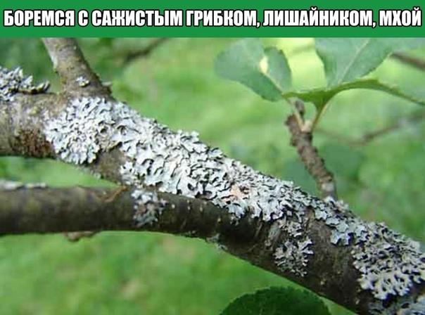 БОРЕМСЯ С САЖИСТЫМ ГРИБКОМ, ЛИШАЙНИКОМ, МХОЙ САЖИСТЫЙ ГРИБОК - этот паразит поселяется на листьях и побегах, они начинают чернеть и отстают в росте и развитии.МЕРЫ БОРЬБЫ - 150 гр. измельченного
