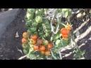 Помидоры РЕД ЧЕРРИ Red Cherry Suvipiha. Описание, опыт выращивания.