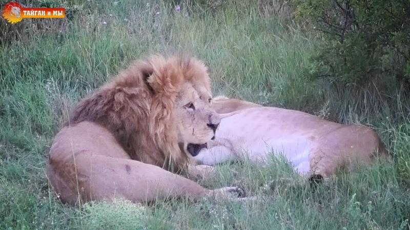 Малыш и его вечная любовь понять и простить Львы Сезон 2020 Тайган Life of the lions Taigan