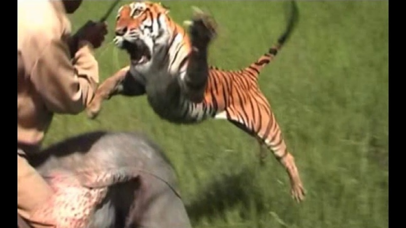 Анатомия крупнейших животных Большие кошки Документальный фильм National Cats Inside