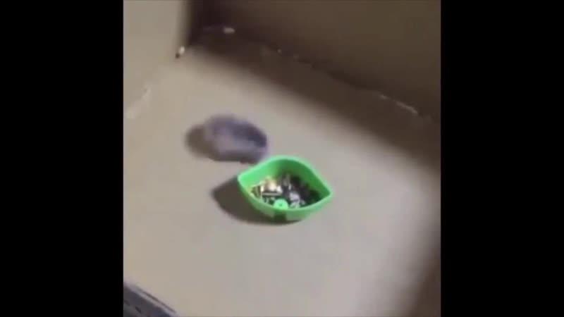 Хомяк дрифтует гоняет бегает вокруг миски Тройной форсаж токийский дрифт