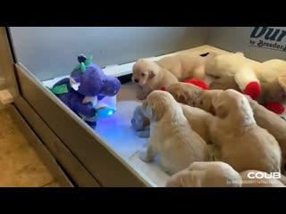 как уложить щенков спать