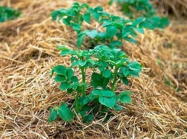 Выращивание картофеля под соломой