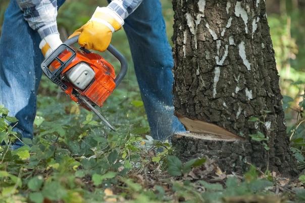 Что нужно знать, чтобы спилить дерево правильно