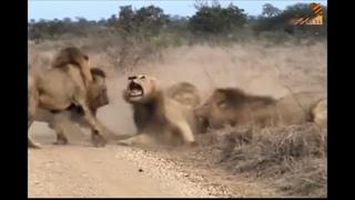 Wild Fauna / Прирождённые Короли / Великий прайд Львов / Mapogo Lions / часть-2