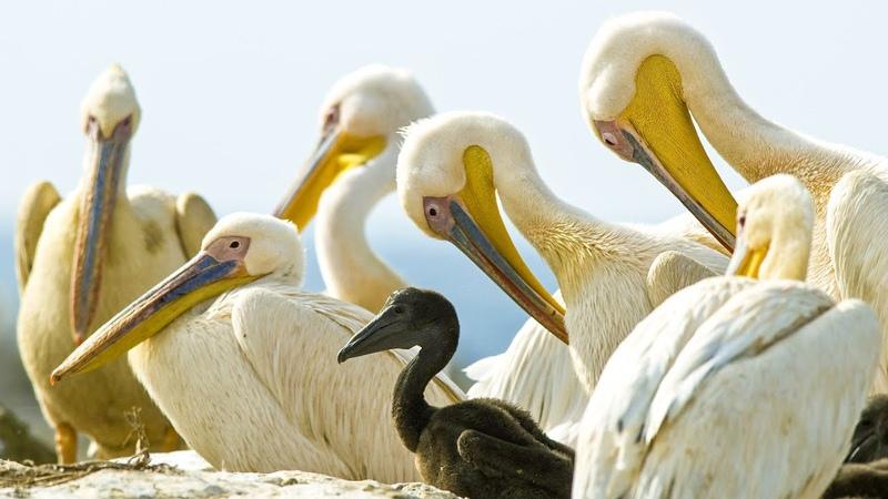 Pelicans Eating Baby Birds   Life   BBC Earth