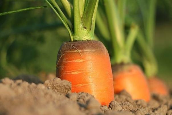 Подкормка моркови после всхода Подкормите морковку сразу после всходов народными средствами, и тогда вкус у овоща будет сладким, а форма правильной. Ежегодно, как только проклевывается ботва