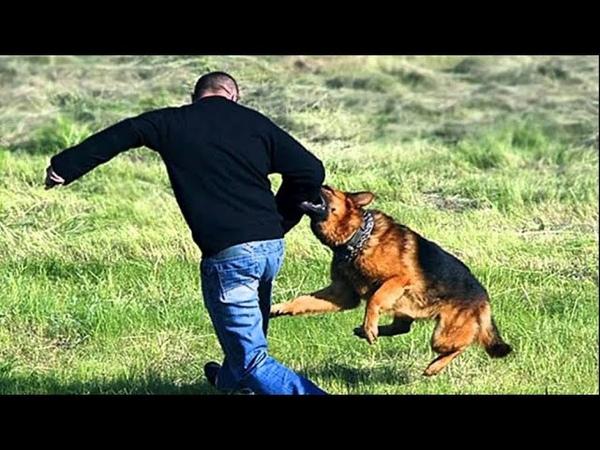 Пес спас маленькую девочку от нападения мужчины Местный герой
