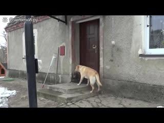 Собака пришла домой и звонит в дверь -  cj,frf ghbikf ljvjq b pdjybn d ldthm -