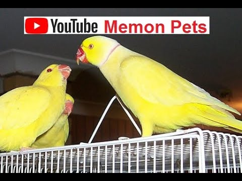 Yellow Ring Neck Colony for Sale Yellow Ring Necks setup Creative Common Video