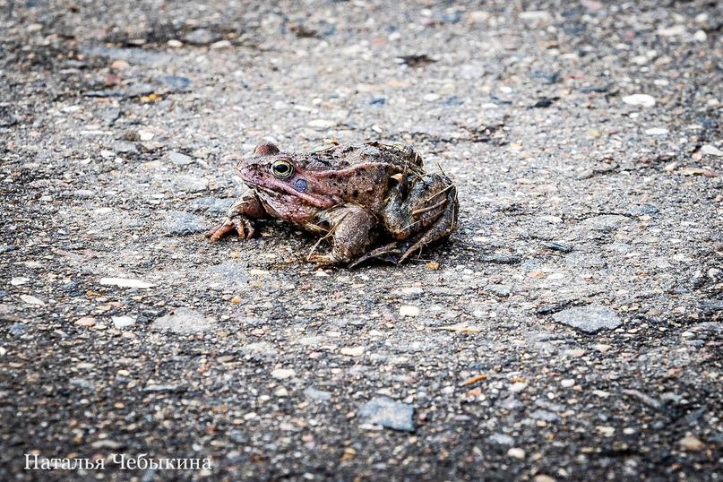 «Эта лягушка выскочила из травы прямо мне под ноги. Моя первая весенняя лягушка! Она напугала меня своим неожиданным прыжком. За что и была сфотографирована», — рассказывает Наталья.