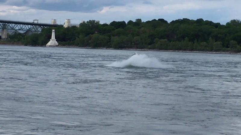 A Humpback Whale in Montreal's Old Port Un rorqual à bosse dans le Vieux Port de Montréal