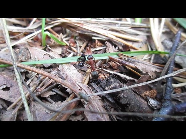 Битва между красным и чёрными муравьями 0 100