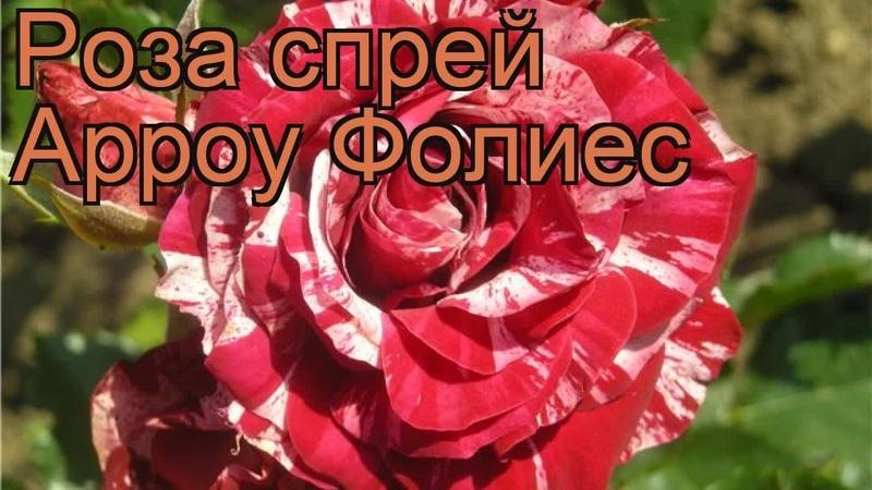 Роза спрей Арроу Фолиес спрей роза Арроу Фолиес обзор: как сажать саженцы розы Арроу Фолиес