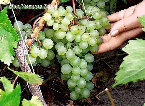 Секреты выращивания раннего винограда