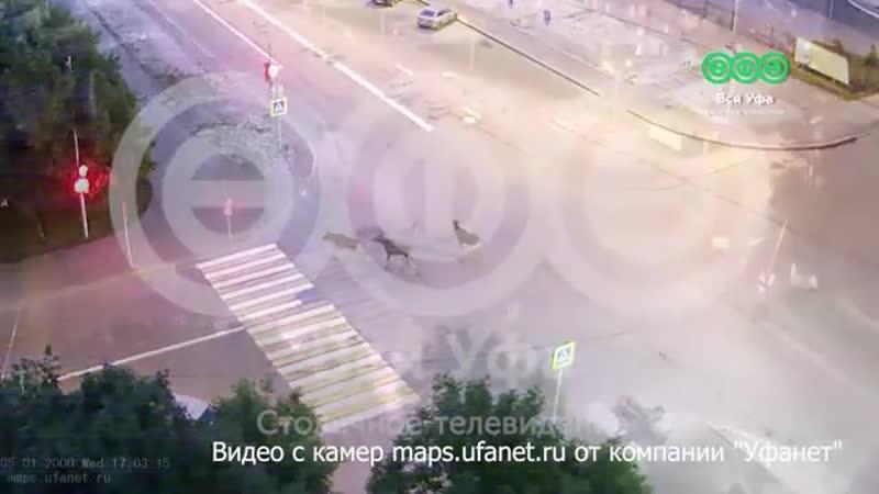 Лоси гуляют на улице Авроры в Уфе