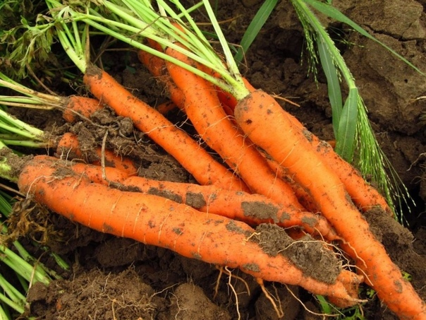 Как посеять морковь, чтобы не прореживать