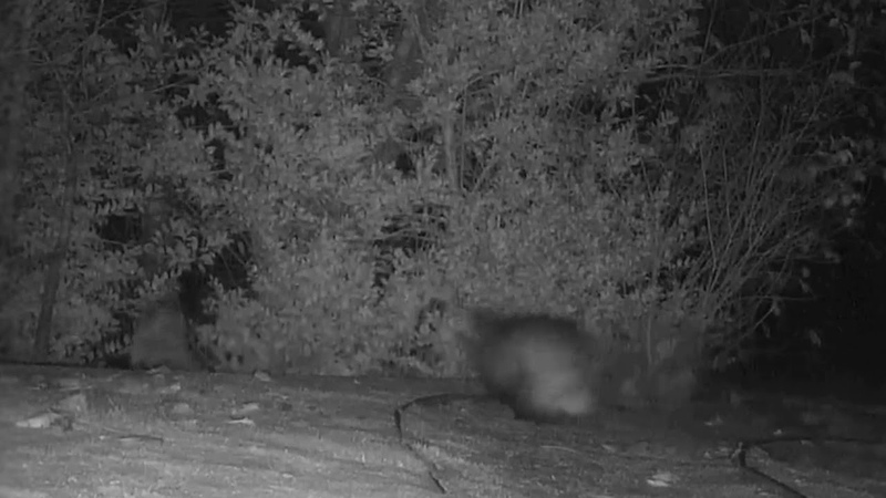 Nighttime Encounter Between Badger and Fox Leads to Comical Chase Scene
