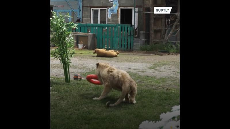 Я знаю что такое жизнь Спасенный львенок Симба готовится к переезду в Африку