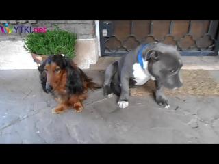 """Допрос двух собак """"Кто съел тапок"""""""