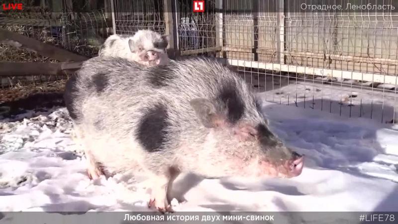 Любовная история двух мини свинок в Ленобласти Прямая трансляция