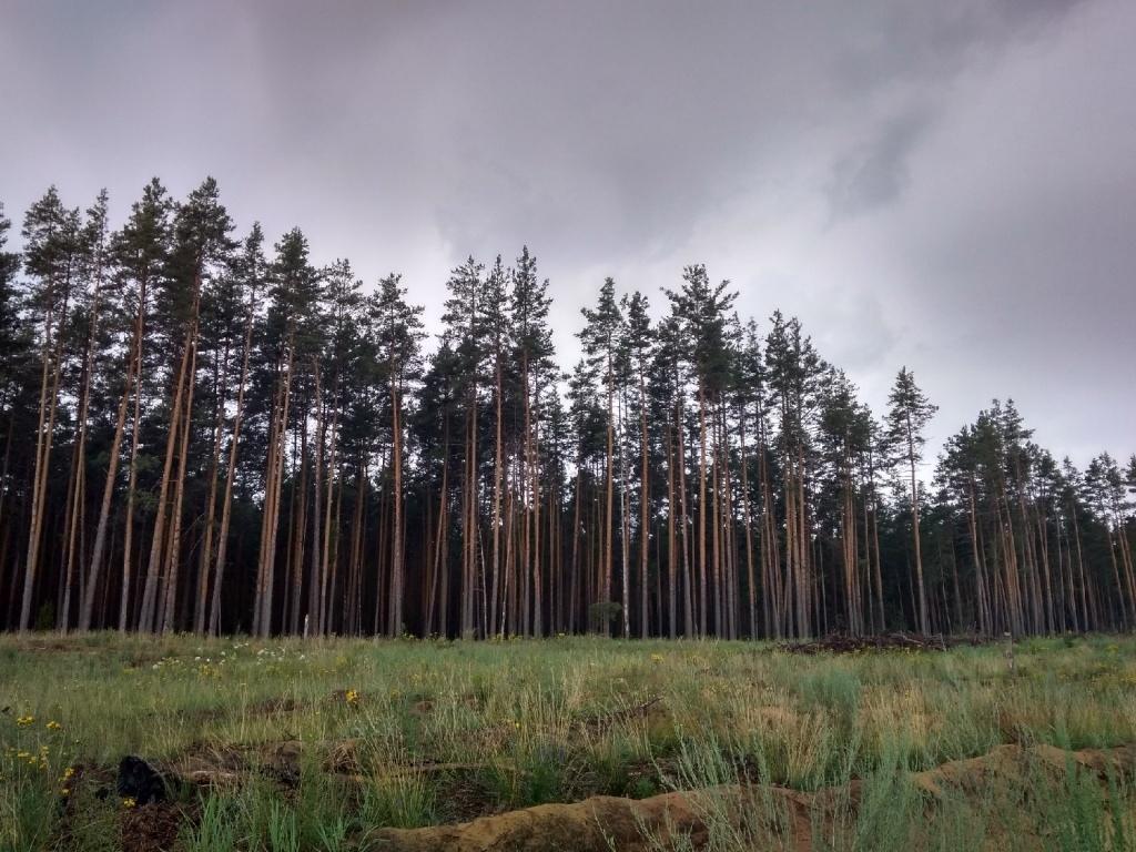 По нацпроекту в Марий Эл будет достигнуто стопроцентное лесовосстановление
