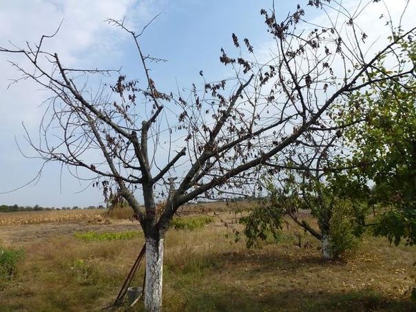 Как я борюсь с монилиозом деревьев весной. Обработка вишни.