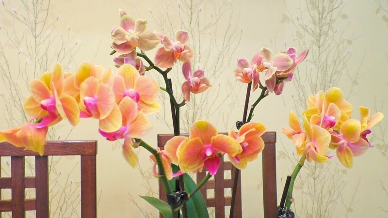 Новые орхидеи! Еще один способ обработки после покупки.