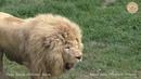 Герой дня лев Виктор и хулиган Дейл. Hero of the day is the lion Victor and the bully Dale.