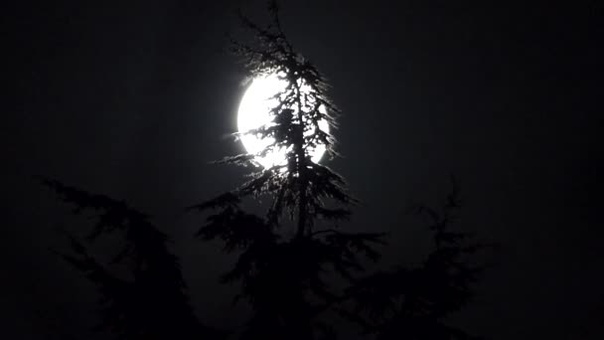 Часов в восемь вечера всходившая молодая луна запуталась в ветках старой корабельной сосны, растущей перед домом Застряла так, что никаким ветром ее нельзя было оттуда вызволить. Сосна качалась,