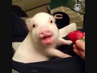 После просмотра этого видео, вы точно захотите себе домой свинку! ))