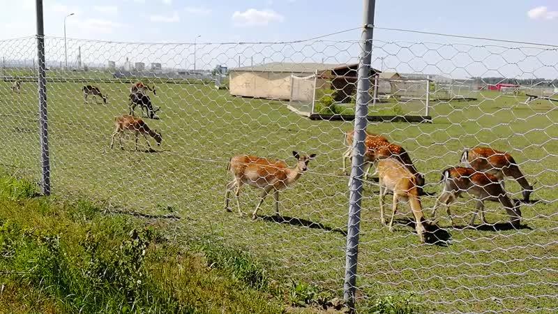 Завод Kronospan вольер с оленями