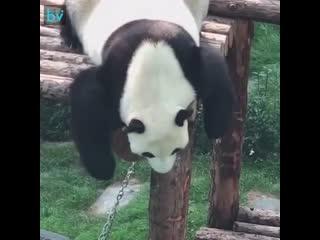 Панды - это в основном маленькие пьяные люди, и вот доказательство