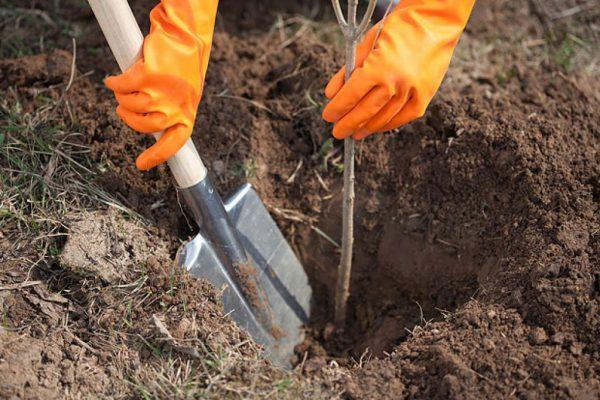 Какие плодовые деревья сажают осенью: как правильно подготовить саженцы к посадке