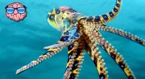 РЫЖАЯ ПОЕБЕНЬ В СИНИЙ КРУЖОЧЕК В мирных и умеренно тёплых водах у берегов Нового Южного Уэльса живут маленькие весёленькие осьминожки. Маленькие они в буквальном смысле: росточком сантиметров до