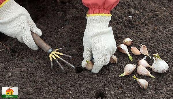 ГОТОВИМ ГРЯДКУ К ПОСАДКЕ ЧЕСНОКА 1. Готовим почву для чеснокаВ конце августа начале сентября необходимо удобрить почву: на каждый кв.м площади вносят 10 кг перегноя, 1 стакан мела и 2 стакана