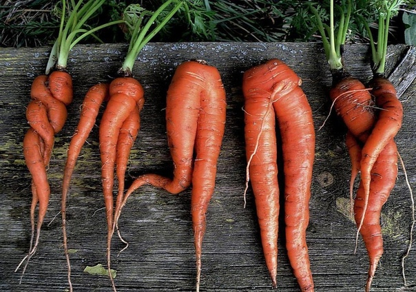 Причины и меры профилактики всходов рогатой моркови на участке.