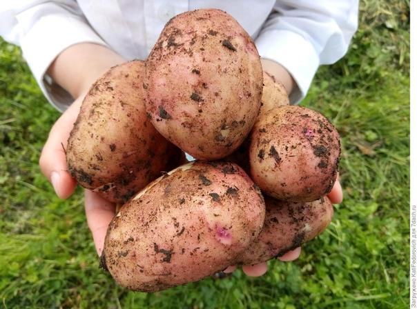 Небольшой секрет, который помогает мне вырастить отличный картофель.