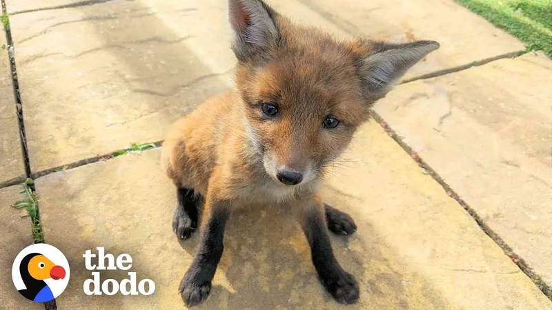 Family Rescues Baby Fox In Their Backyard And Reunites Him With Mom The Dodo