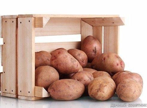 450 килограммов картошки  из одной сотки! - Не слабо!