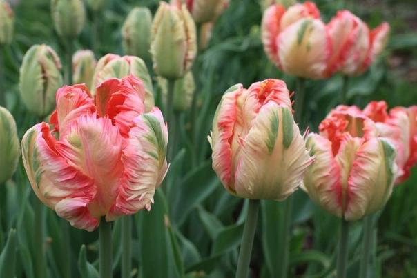 Как правильно сажать тюльпаны Основа успеха при выращивании тюльпанов хороший посадочный материал, то есть чистосортный и не зараженный вирусом пестролепестности посадочный материал. Ведь если