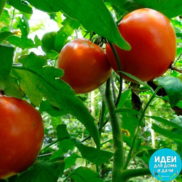 Чего нельзя делать при выращивании помидоров. Подробно