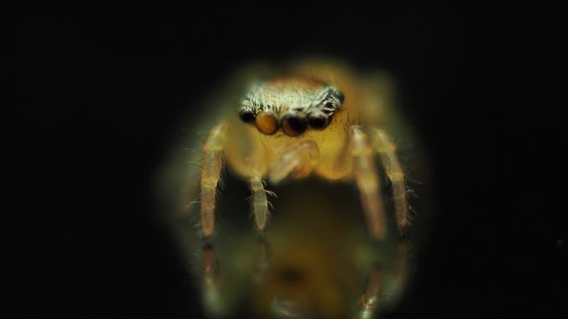 Phidippus pius baby spider